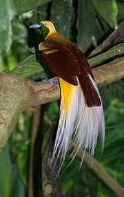 180px-lesser_bird_of_paradise.jpg